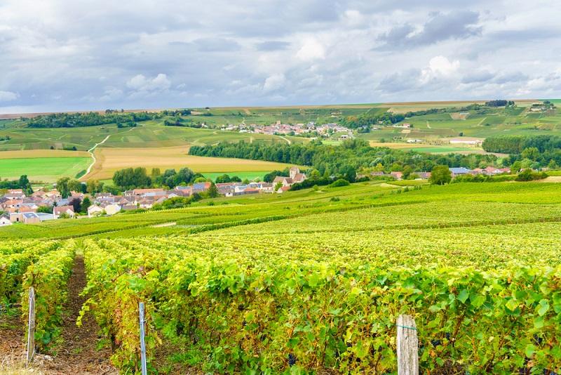 Der Geschmack des Champagners wird ganz maßgeblich von den Rebsorten und dem jeweiligen Mischungsverhältnis bestimmt. Hauptsächlich drei Rebsorten werden gekeltert, um den echten Geschmack des Champagner aus Frankreich zu erlangen. (#02)