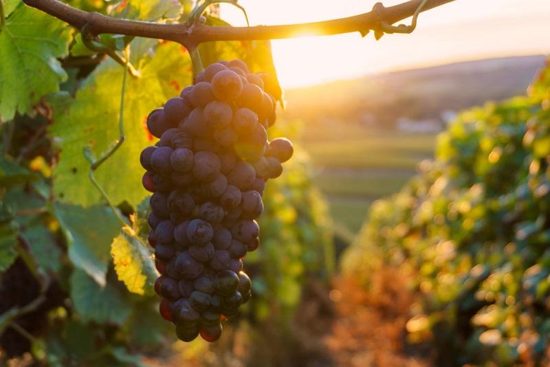 Rechtlich betrachtet dürfen nur Reben, die auf einem klar umgrenzten Gebiet angebaut werden, den Titel Champagner aus Frankreich tragen. Dieses Gebiet wurde bereits 1927 genau festgelegt und erstreckt sich auf ungefährt 34.000 Hektar Anbaufläche, die mittlerweile fast vollständig von Reben bedeckt ist. (#01)