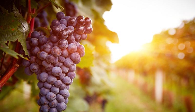 Die Beerenreife und die Qualität des Roten hängt viel stärker als beim Weißwein von Klimabedingungen oder von möglichem Pilzbefall ab. (#2)
