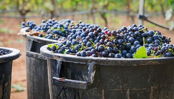 Wer sich für Weine interessiert und die typisch apulischen Sorten testen möchte, sollte unbedingt auf die Rebsorte Negroamaro achten, die bei einigen Winzern ganz besonders veredelt wurde. (Foto: Shutterstock-  Emanuela_Campanella )